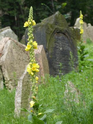 Prag_jüdischer Friedhof_14